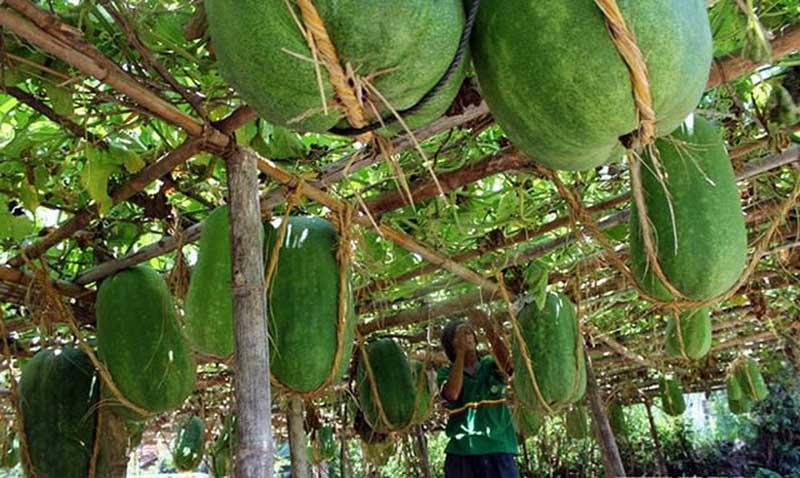 Ngôi làng trồng bí đao khổng lồ ở Bình Định